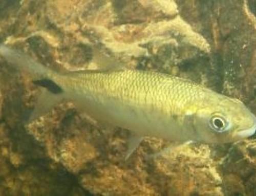 A pirapitinga no Rio Cipó, espécie ameaçada